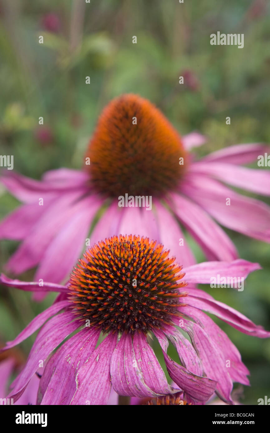 Genus of flowering plants in the daisy family stock photos genus echinacea is a genus of herbaceous flowering plants in the daisy family stock image izmirmasajfo
