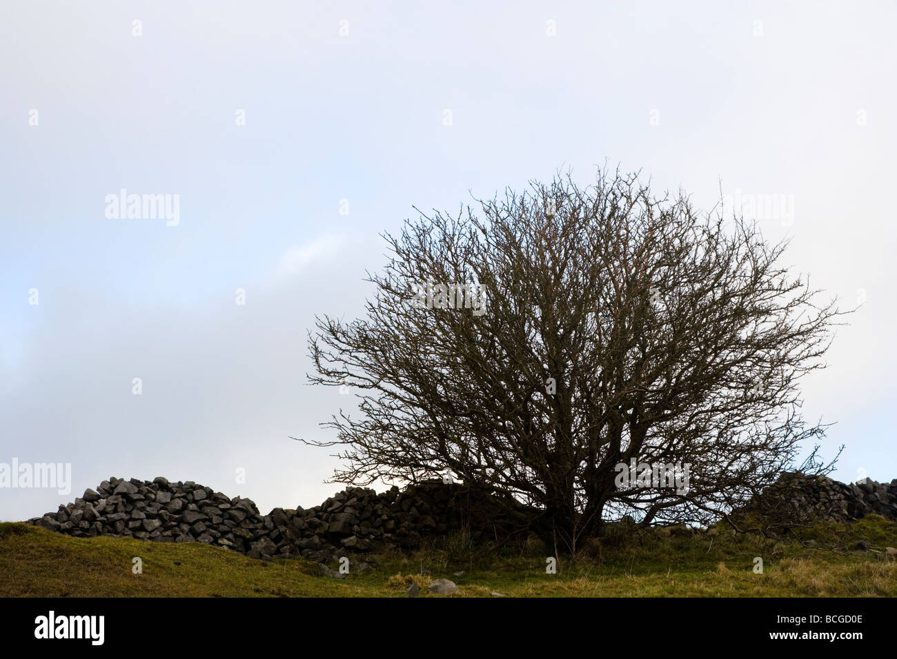 Single Hawthorn tree against a drystone wall above Millers Dale in the Peak District in Derbyshire - Stock Image