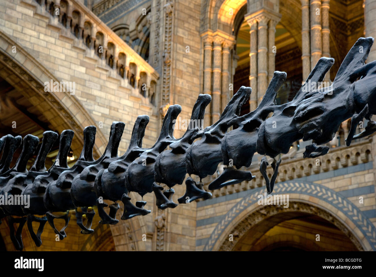 Tail vertebrae of a Diplodocus dinosaur in the entrance hall of the Natural History Museum Kensington London - Stock Image