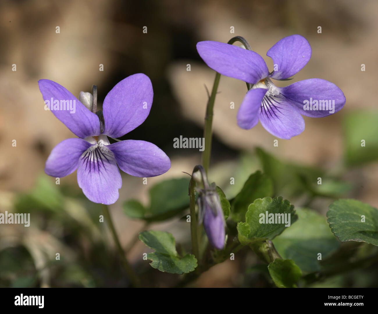 Common Dog Violet Viola riviniana - Stock Image