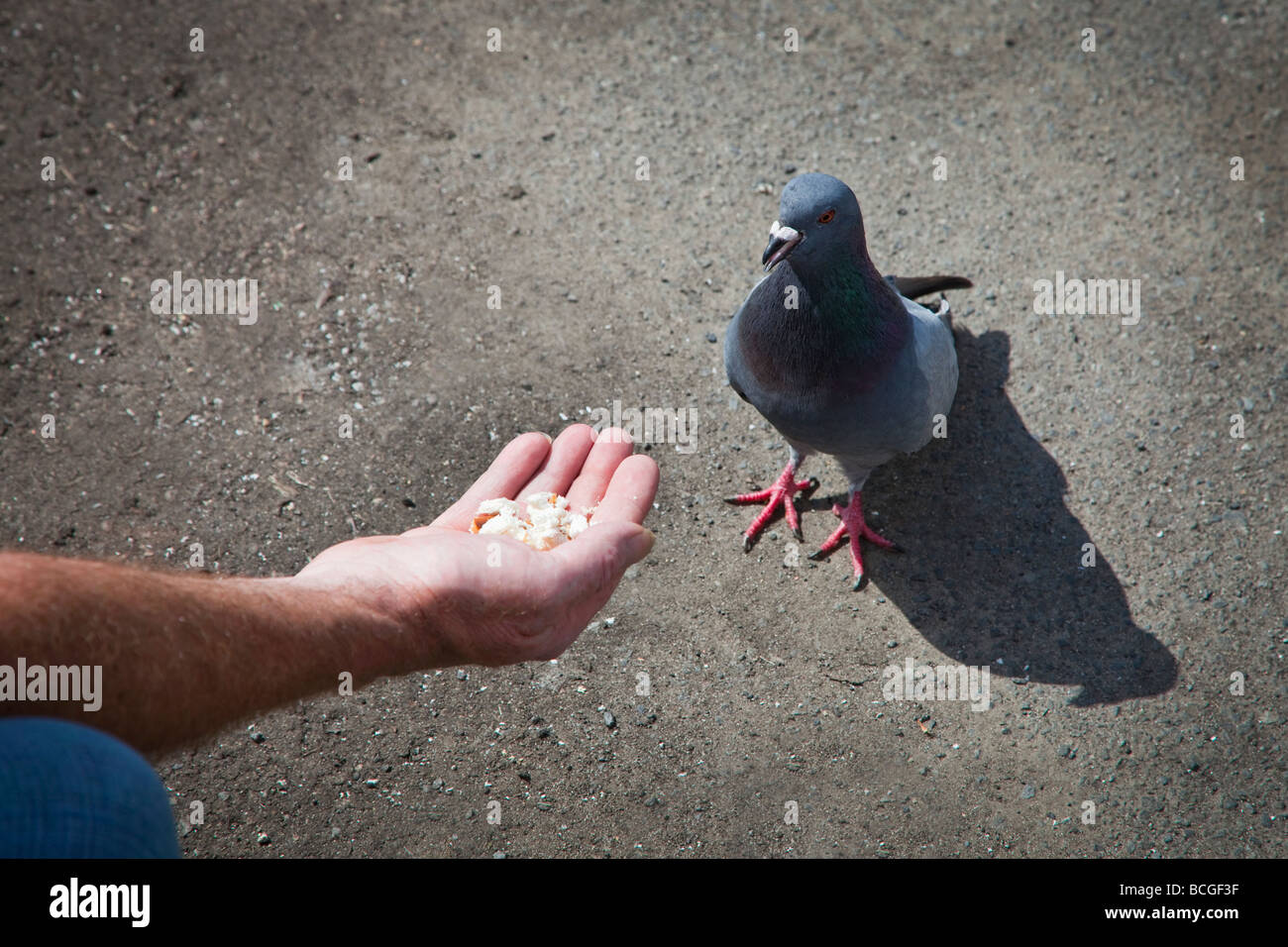 Hand feeding bread to a common pigeon also known as a city pigeon or feral pigeon, Glasgow, Scotland - Stock Image