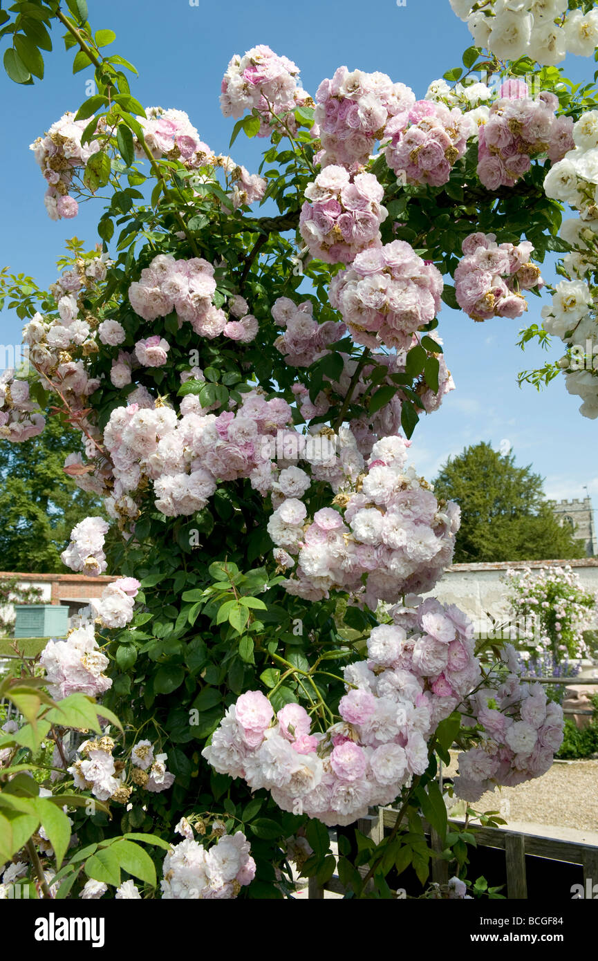 Rosa `Sanders White` rambler. Abundance rosette shaped fully double scented white flowers over a arched trellis. Stock Photo