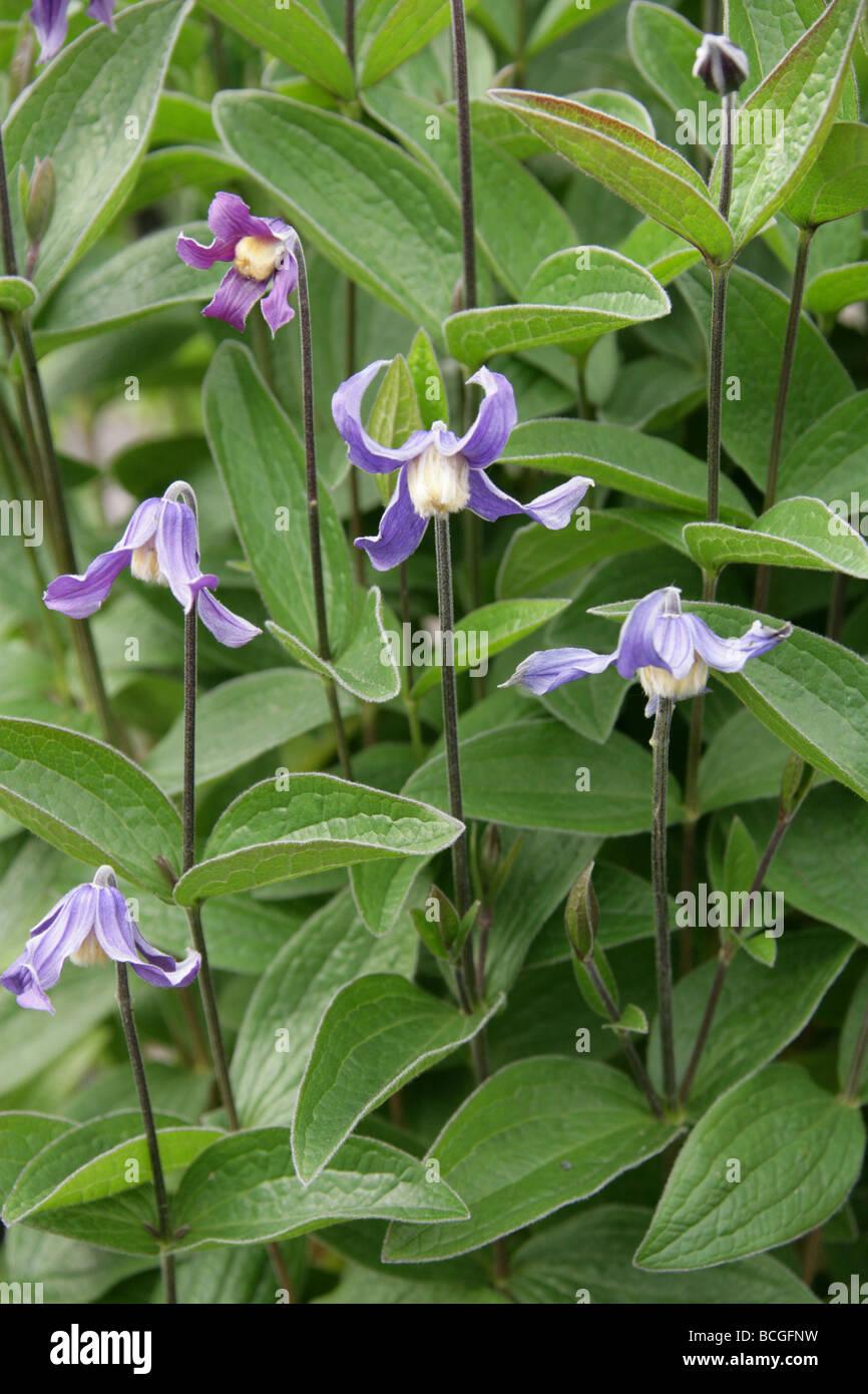 Clematis, Clematis integrifolia, Ranunculaceae, Europe and Temperate Asia - Stock Image