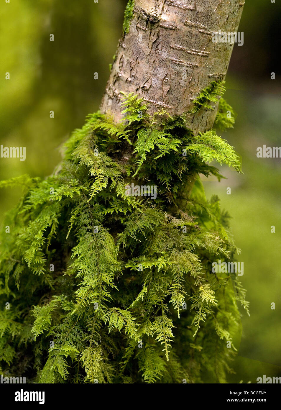 Moss Thuidium tamariscinum growing up the trunk of a small tree in moist woodland - Stock Image