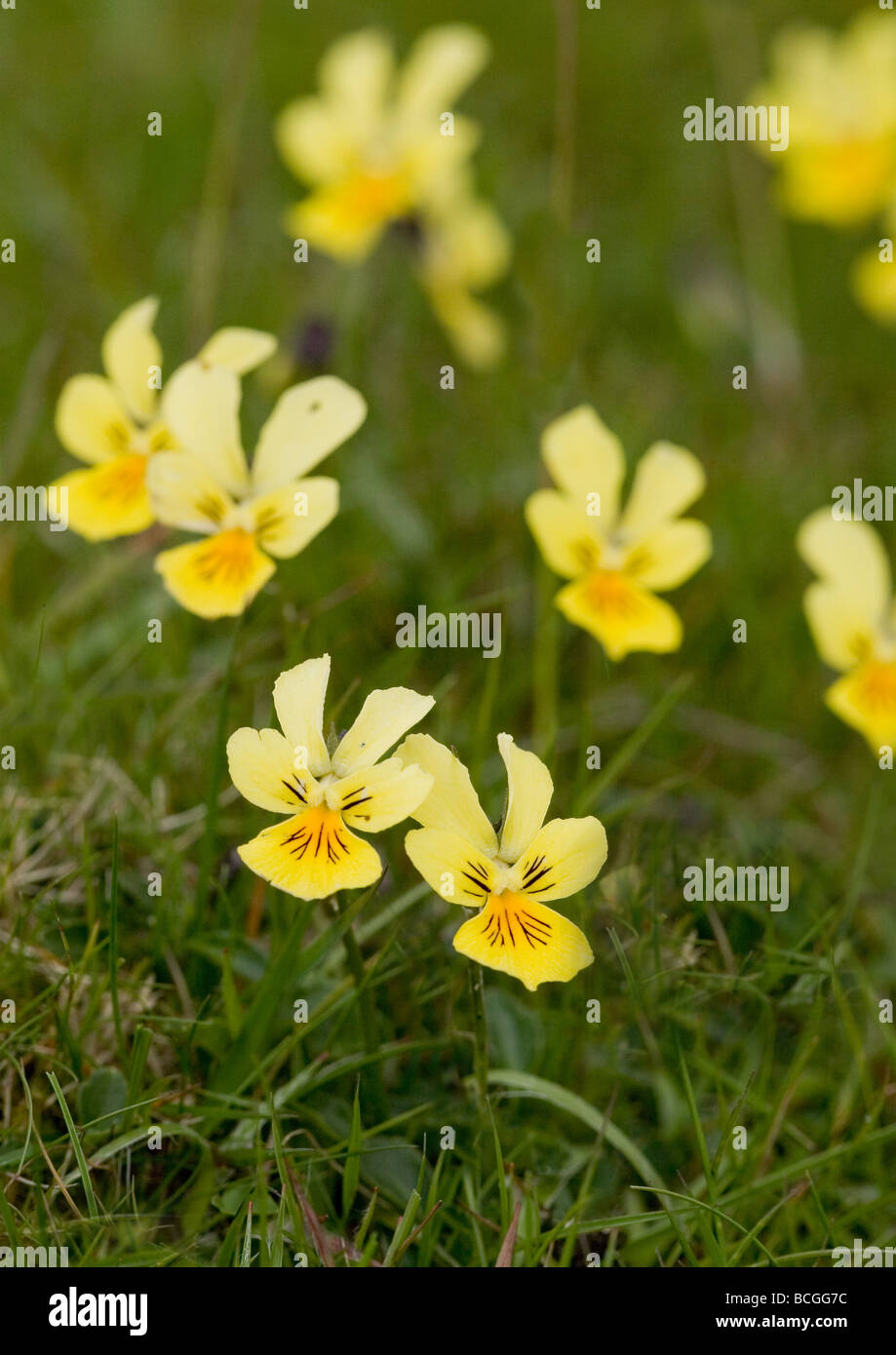 Mountain pansy Viola lutea flowers growing in the Derbyshire Peak District - Stock Image