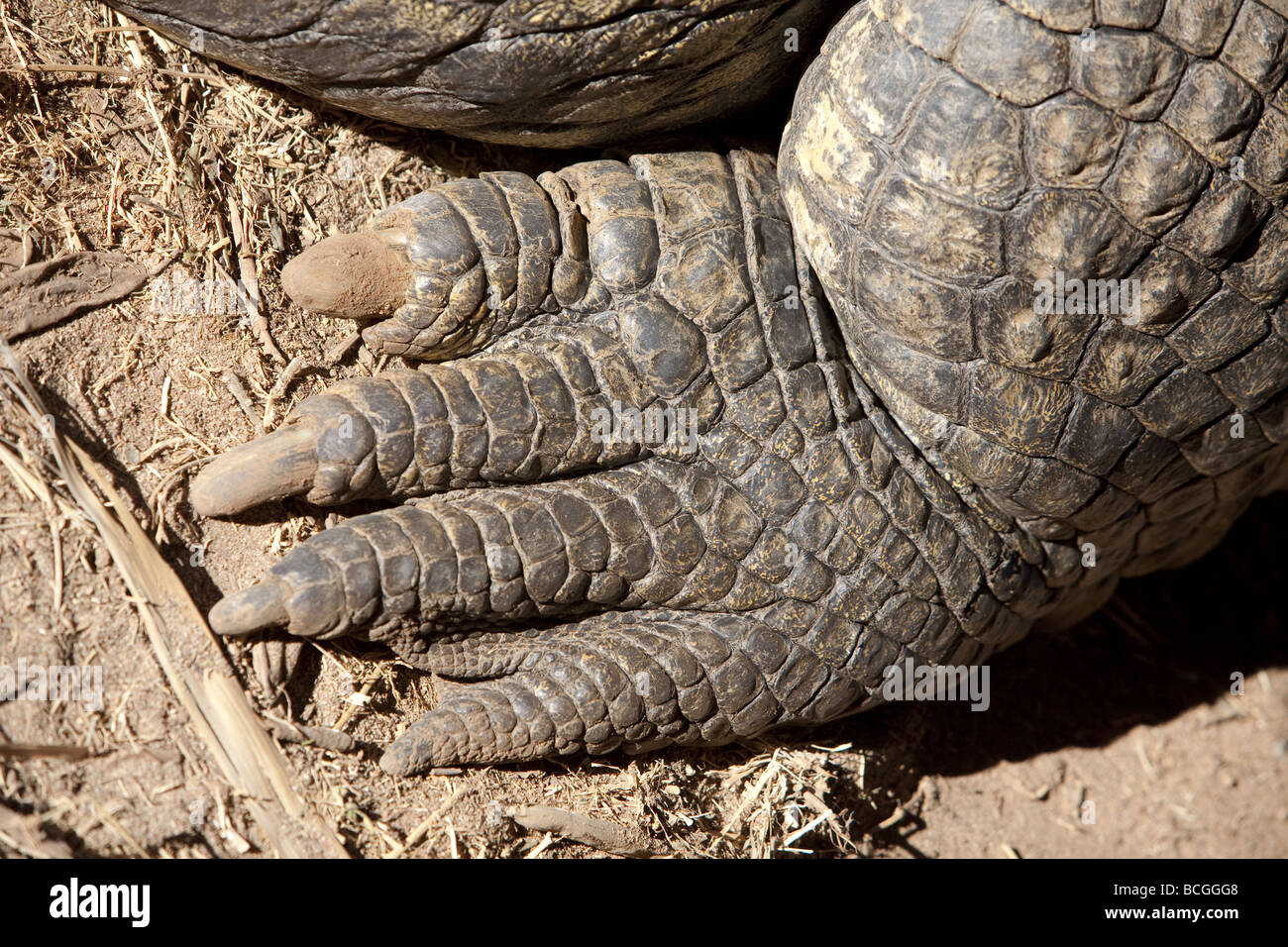 Close up shot of a Nile crocodile's back foot - Stock Image
