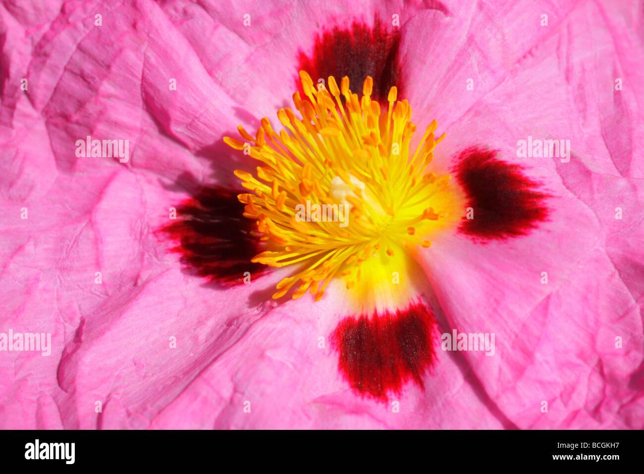 Dramatic Close Up Of Cistus X Purpureus Centre Of Flower With Stock
