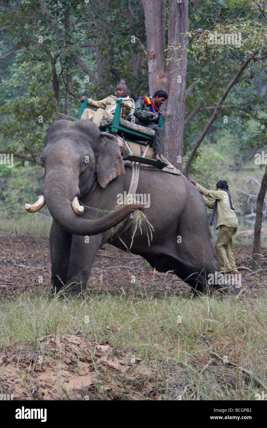 Indian Elephant Elaphas maximus standing while a mahaut climbs up onto its back in the jungle - Stock Image