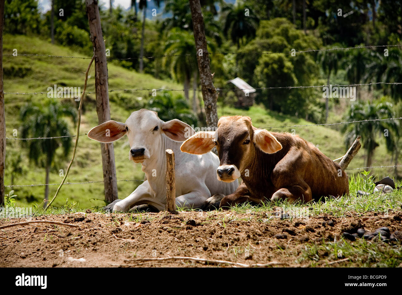 Two cows with very big ears laying down on the ground in Palo Blanco Dominican Republic - Stock Image