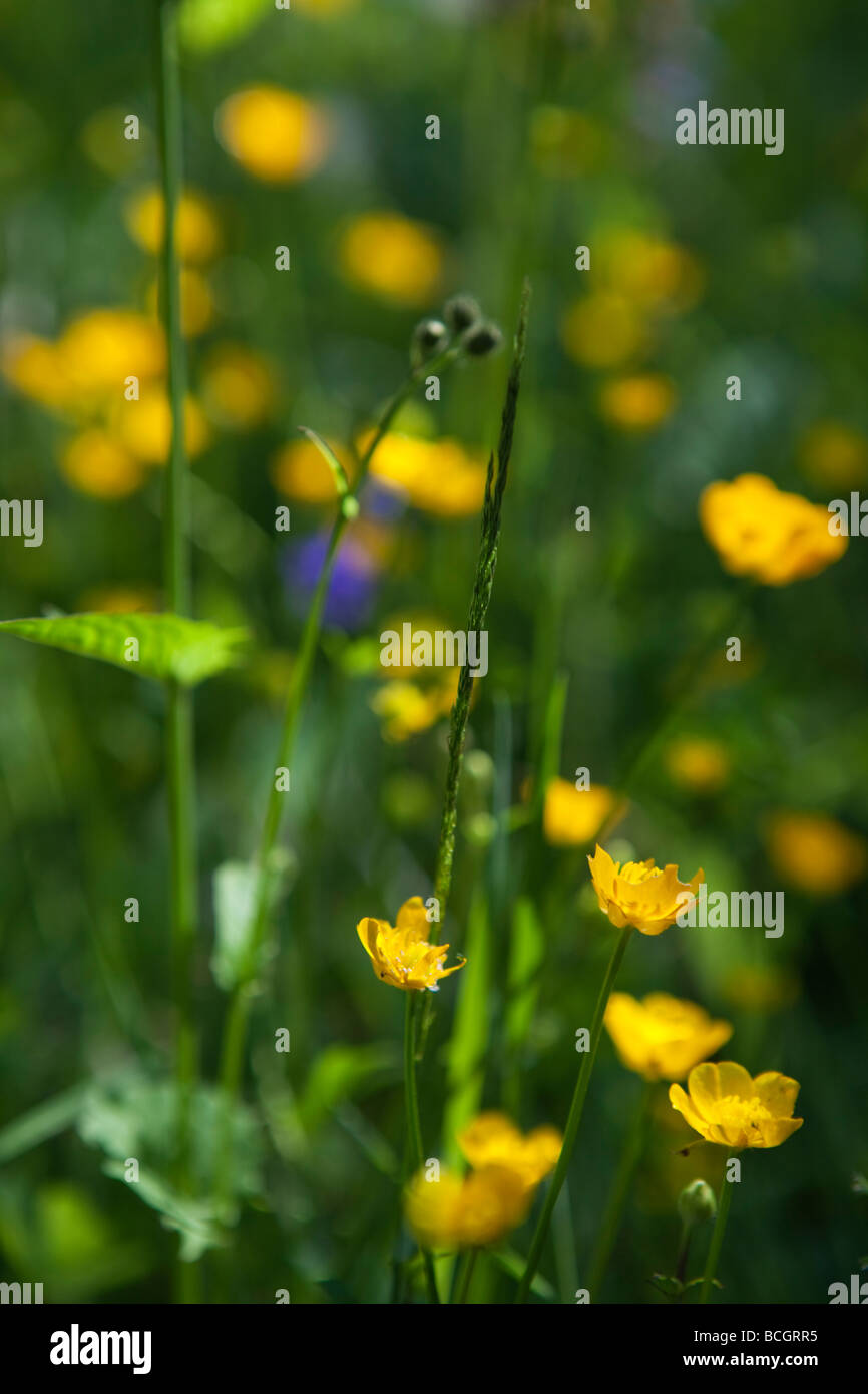 Natural growing field flowers in the alpine Val Veny, Monte Bianco, Courmayeur, Italy - Stock Image