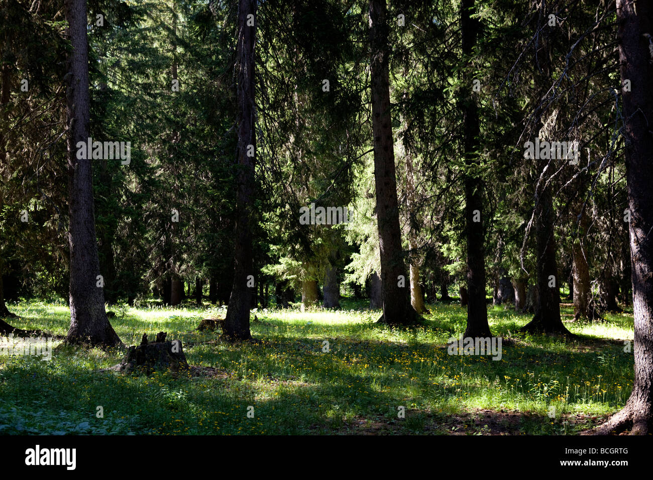 Alpine forest with larix trees in Val Veny, Monte Biaco, Courmayeur, Italy - Stock Image
