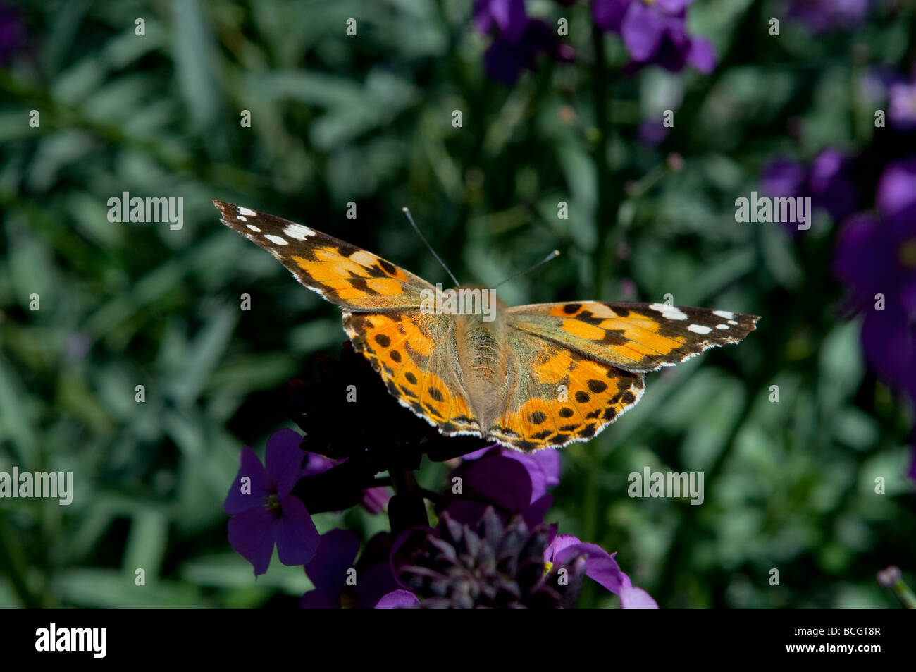 Painted lady butterfly Cynthia cardui West Sussex England UK Stock Photo