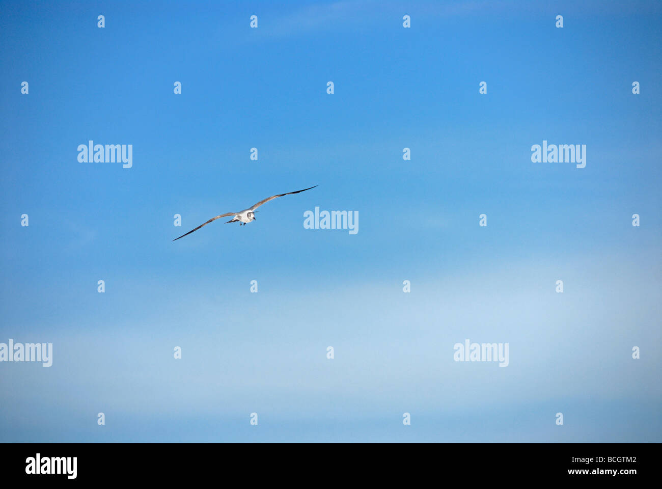 Sea bird in flight - Stock Image