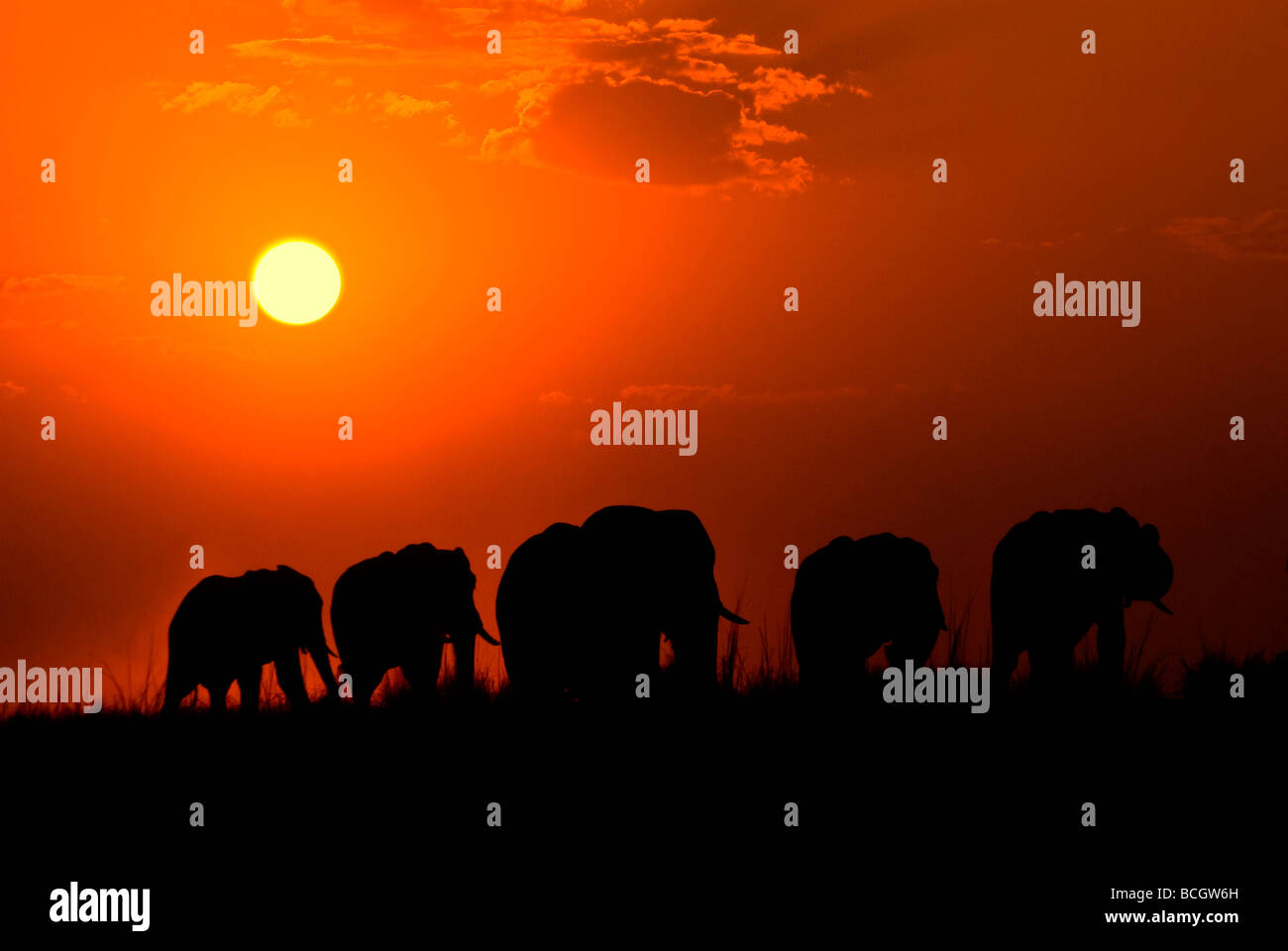 Elephant herd at sunset Chobe river, Chobe National Park, Botswana - Stock Image
