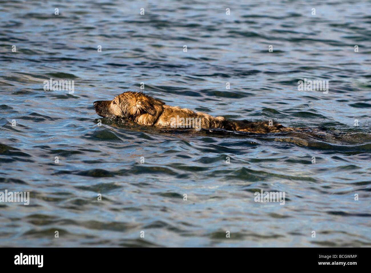 German Shepherd Dog (Alsatian) swimming in Sea at Balnakeil bay, Durness, Sutherland Scotland - Stock Image