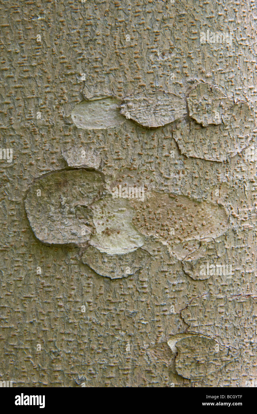 Spur-leaf (Tetracentron sinense) close-up of bark It is a tree growing to 20 40 m tall Central and Western ChinaStock Photo