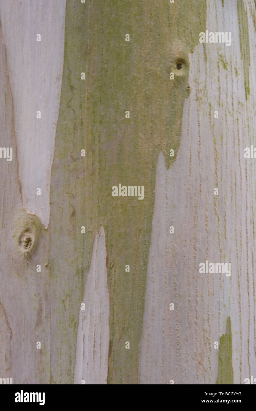 Urn Gum Eucalyptus urnigera close up bark mature tree - Stock Image