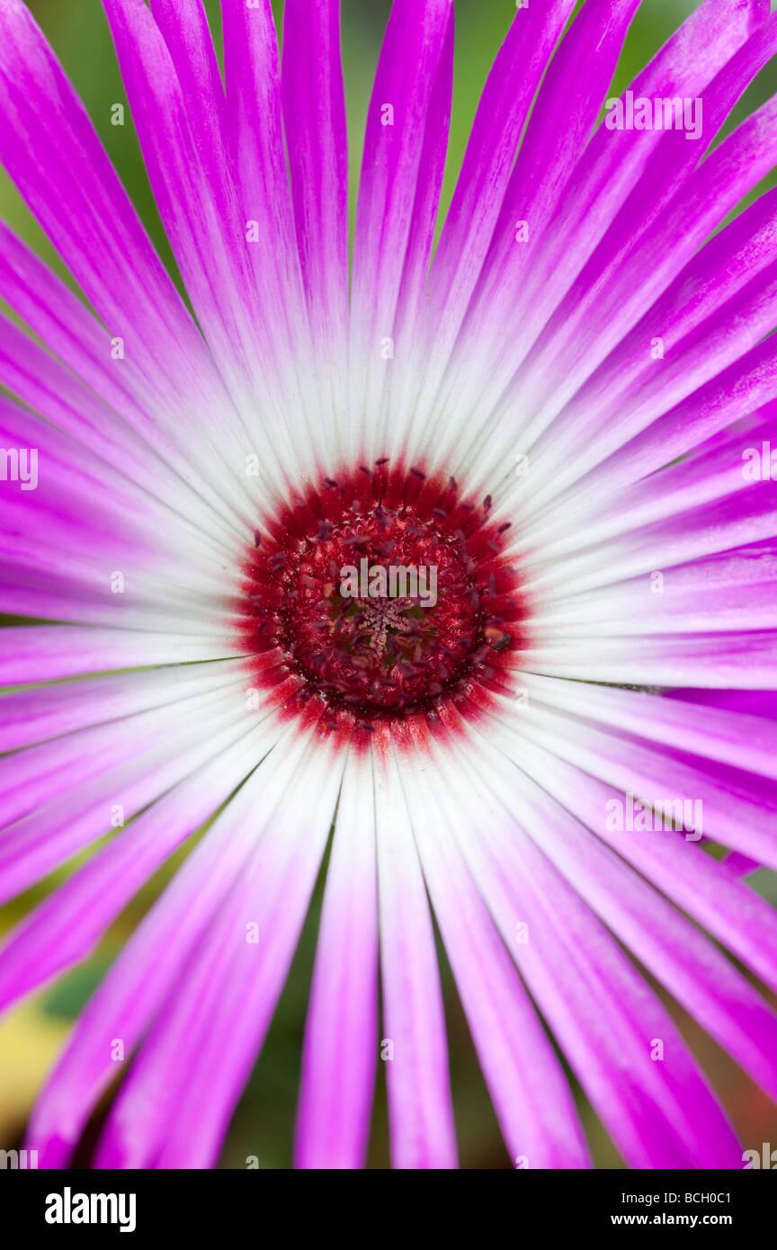 Pink Daisy Like Flower Stock Photos Pink Daisy Like Flower Stock