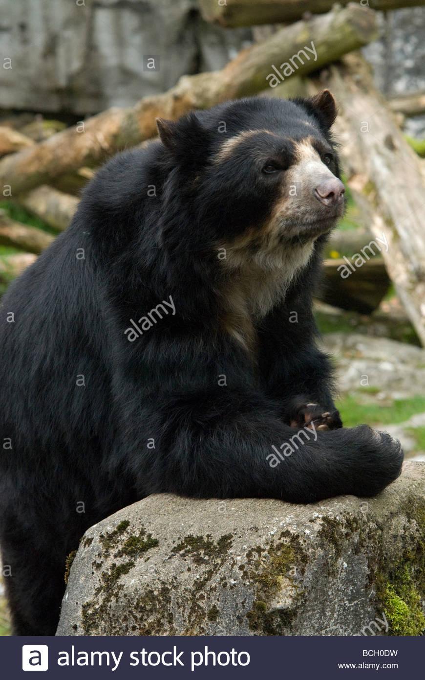 Andean or Spectacled Bear (Tremarctos Ornatus) known locally as Ukuko, Jukumari or Ucumari Stock Photo