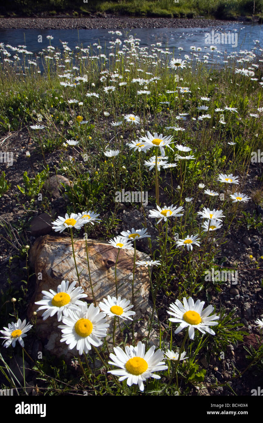 Erigeron divergens Daisy Asteraceae Sunflower Family grow along the Slate River near Crested Butte Colorado USA - Stock Image