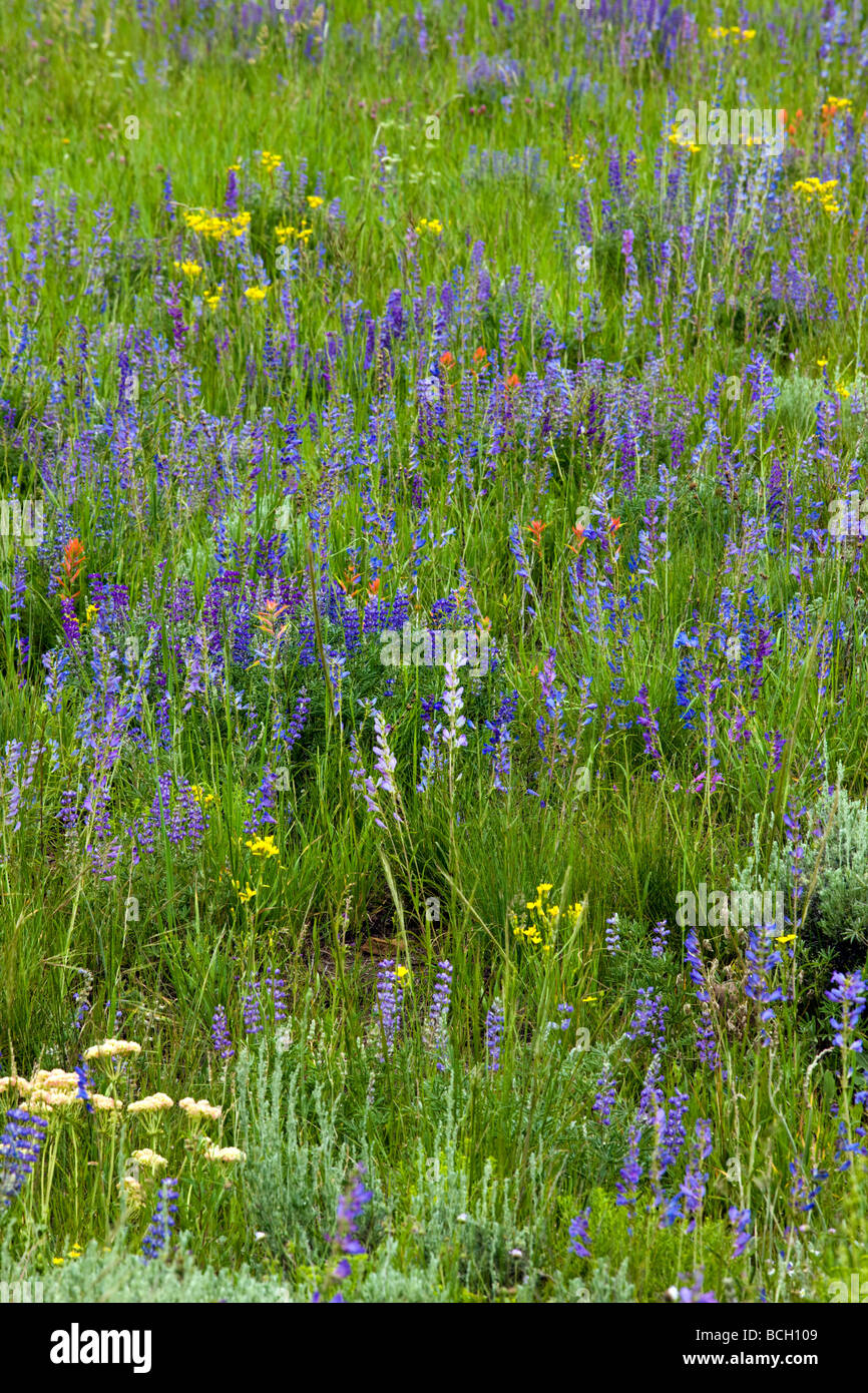 Blue Lupine in a ranch pasture south of Crested Butte off Highway 135 Gunnison County Colorado - Stock Image