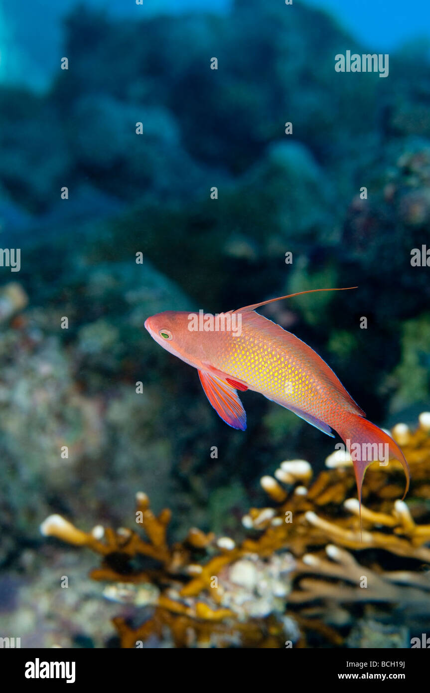 A male anthias fish surveys its' surrounding on a coral reef. - Stock Image