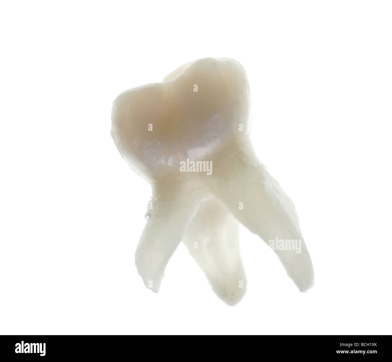 extracted baby molar tooth with roots isolated on white - Stock Image