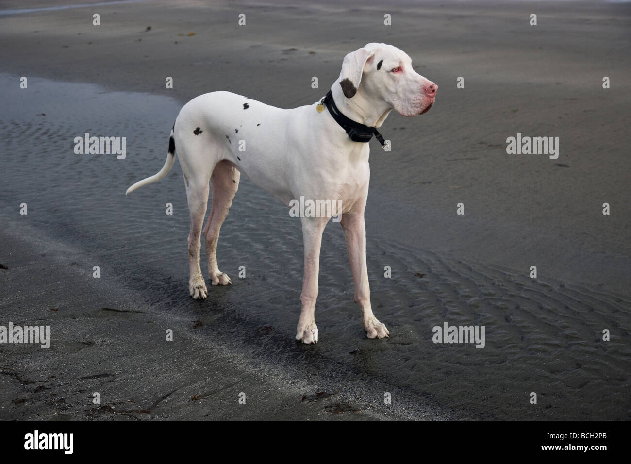 White Harlequin  'Great Dane'  male,on the beach. - Stock Image