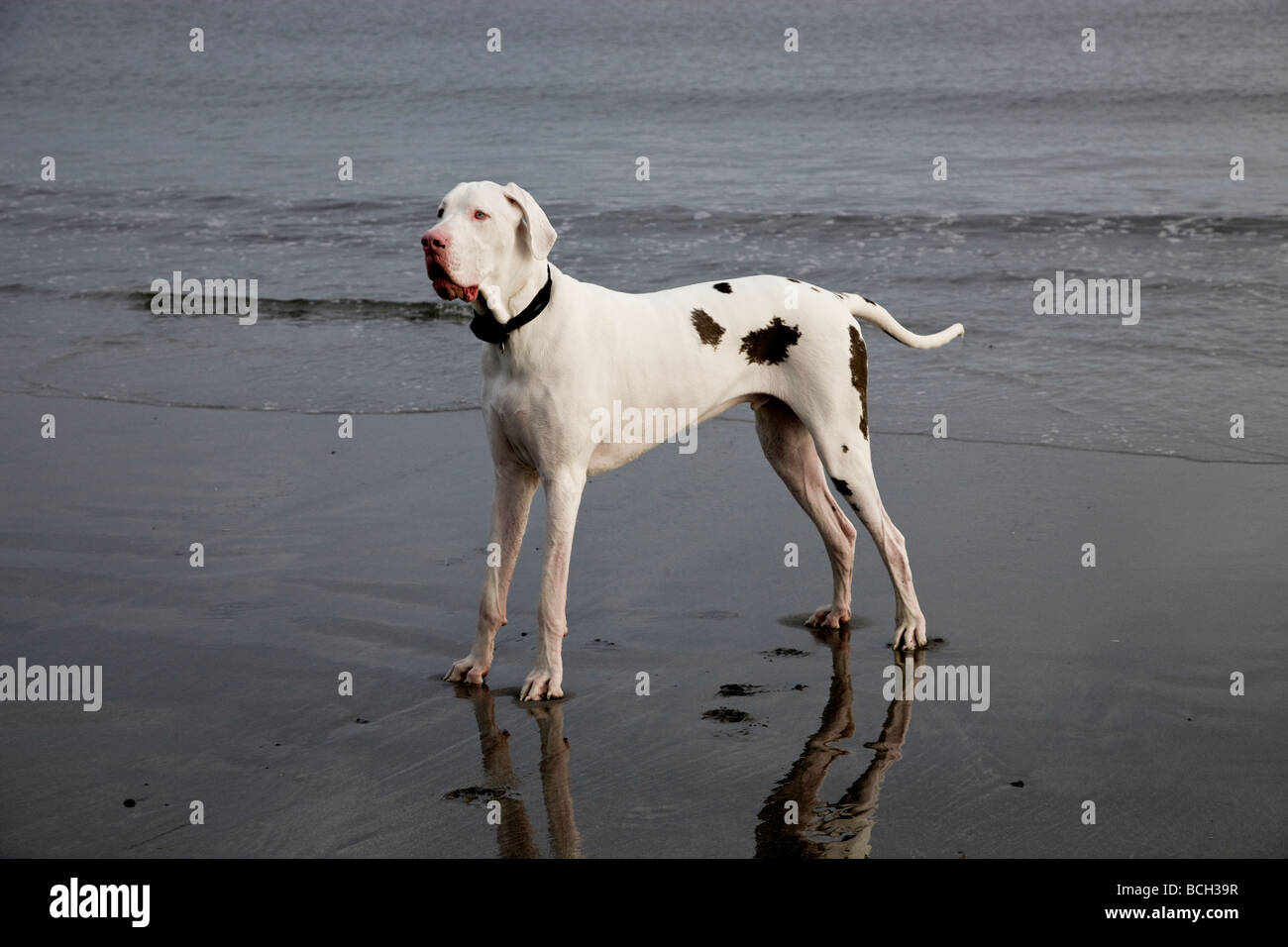 White Harlequin  Great Dane male two years old on the beach. Stock Photo