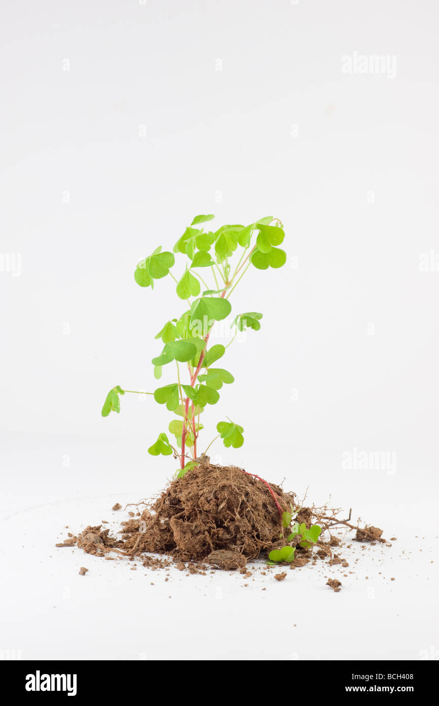 clump of fresh growing clover plant isolated on white Stock Photo