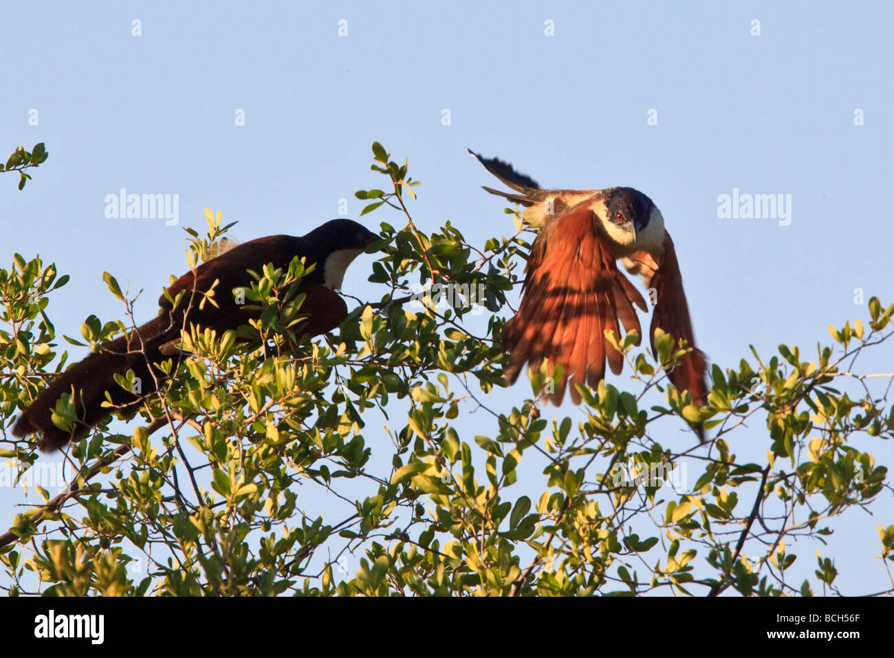 Coppery-Tailed Coucal - Stock Image