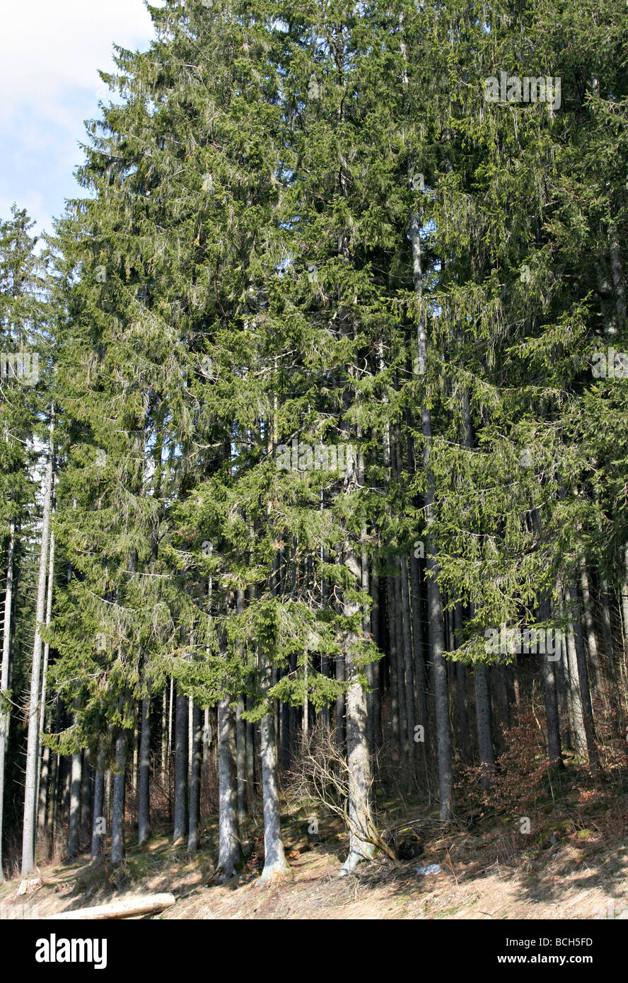 Pine trees at Black Forest - Titisee, Germany - Stock Image
