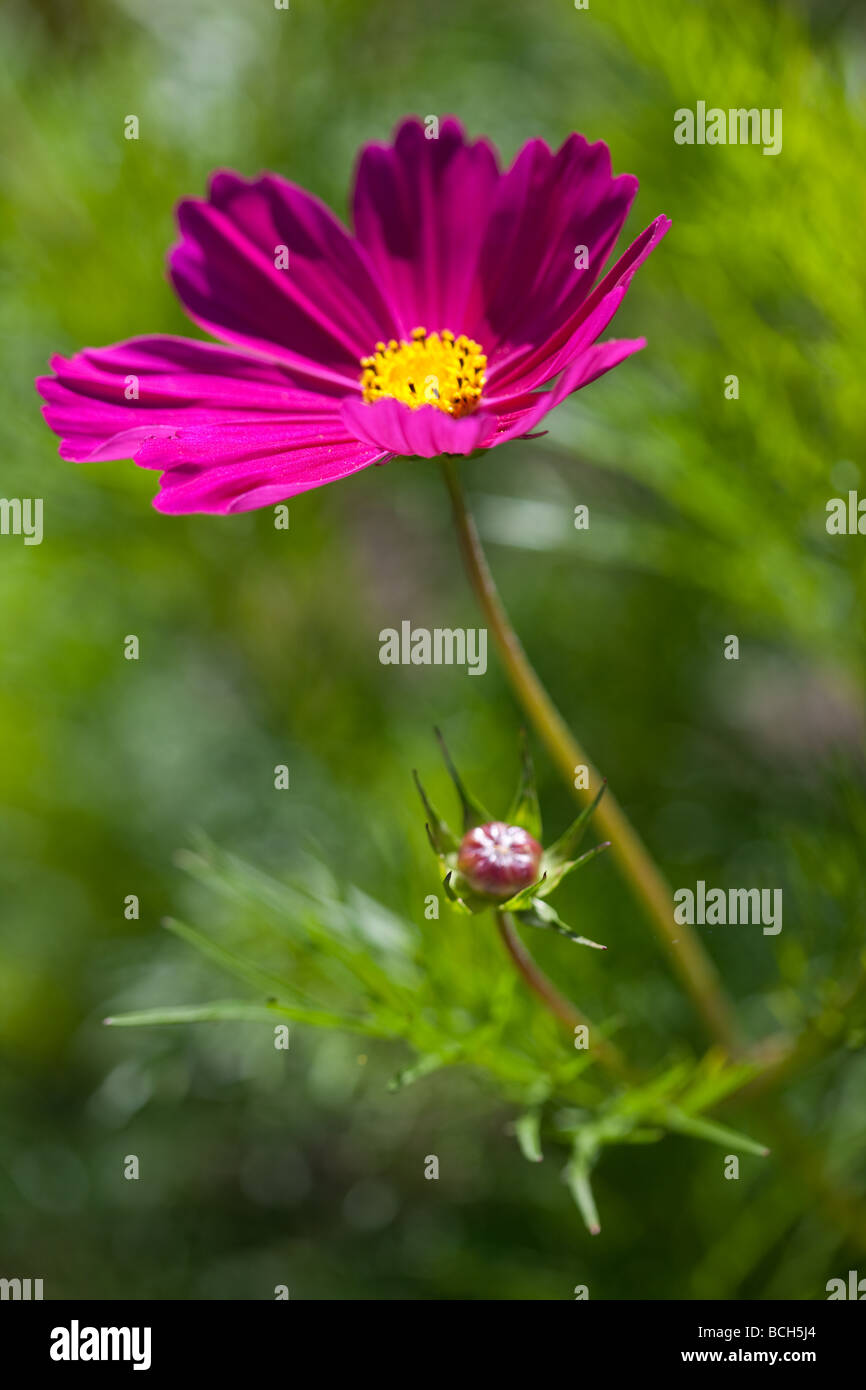 Vibrant pink Cosmos against bright green foliage - Stock Image