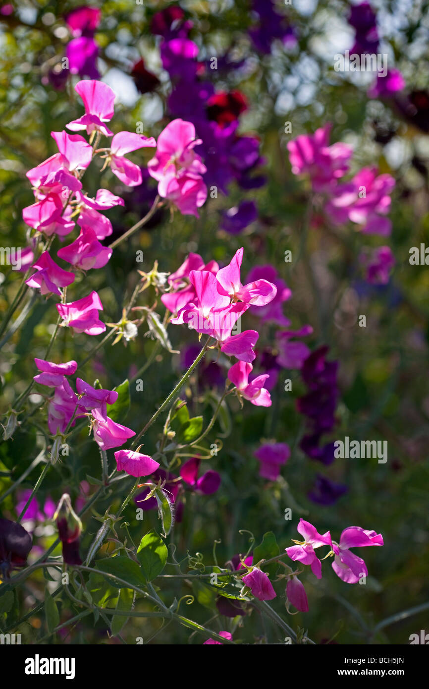 Forever Summer - Sweet Peas - Stock Image
