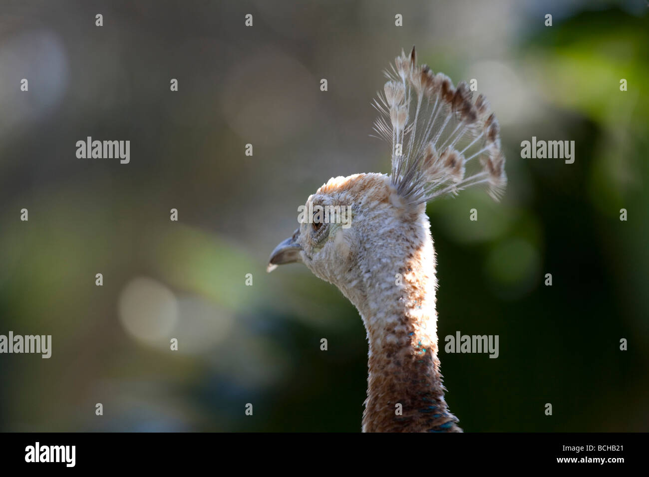 Rear head shot of Indian Blue peahen. Genus Pavo, pheasant family, Phasianidae, species Indian Peafowl. - Stock Image
