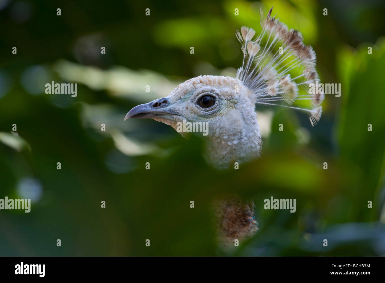 Head shot of Indian Blue peahen through foilage. Genus Pavo, pheasant family, Phasianidae, species Indian Peafowl. - Stock Image