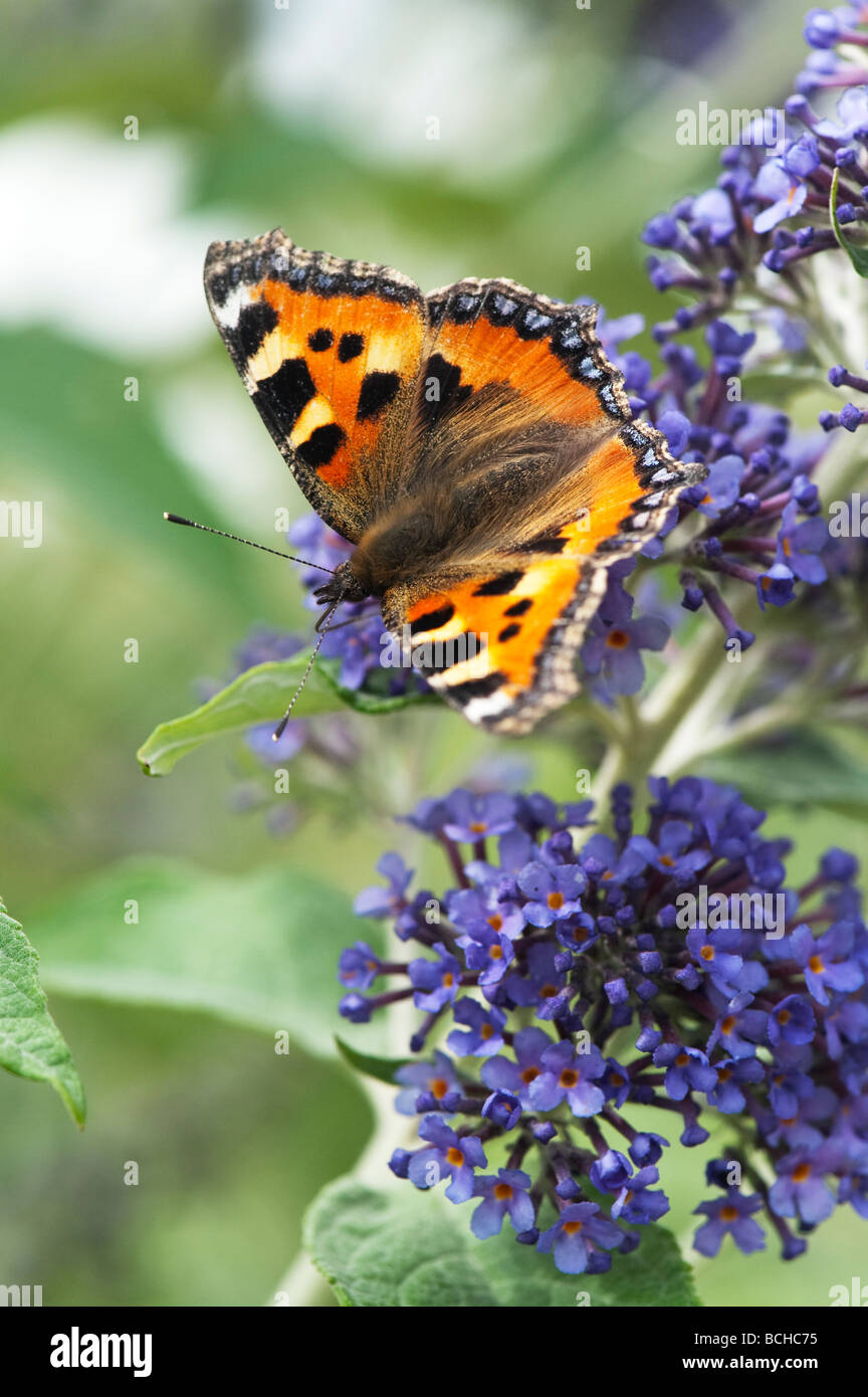 Small tortoiseshell butterfly feeding on buddleja in an english garden - Stock Image