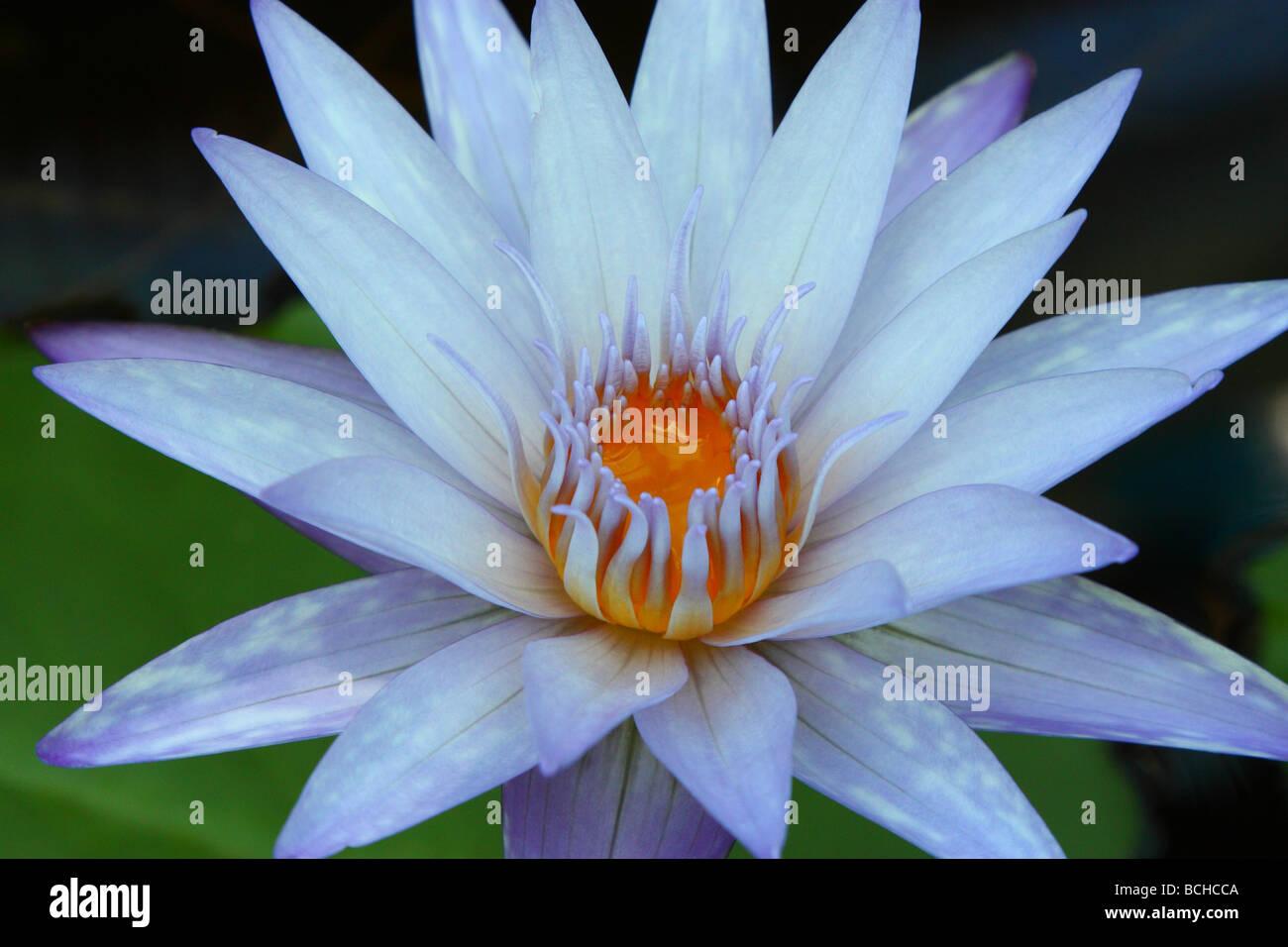 Purple Blue Lotus Flower Close Up Nymphea Stock Photo 24969178 Alamy