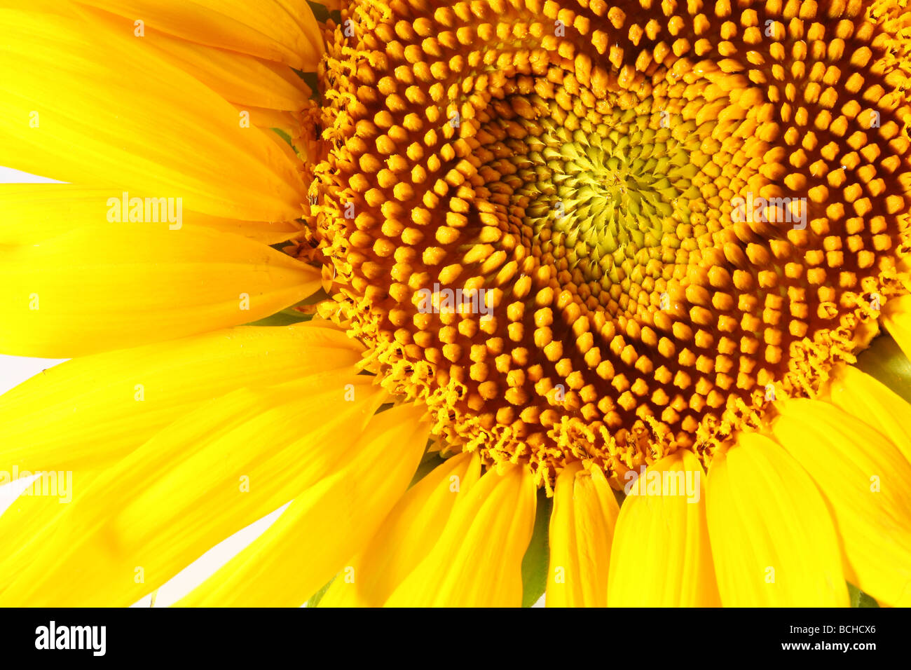 stamens in the form of heart on a sunflower - Stock Image