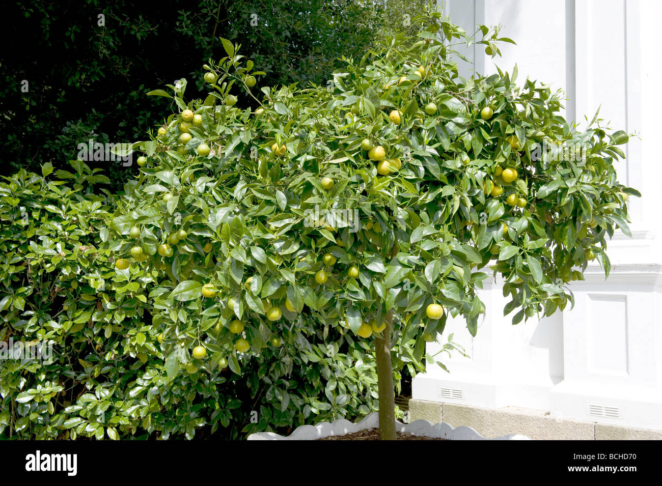 Citrus aurantium 'Seville Orange'. A controlled seville orange tree grown in a container. - Stock Image