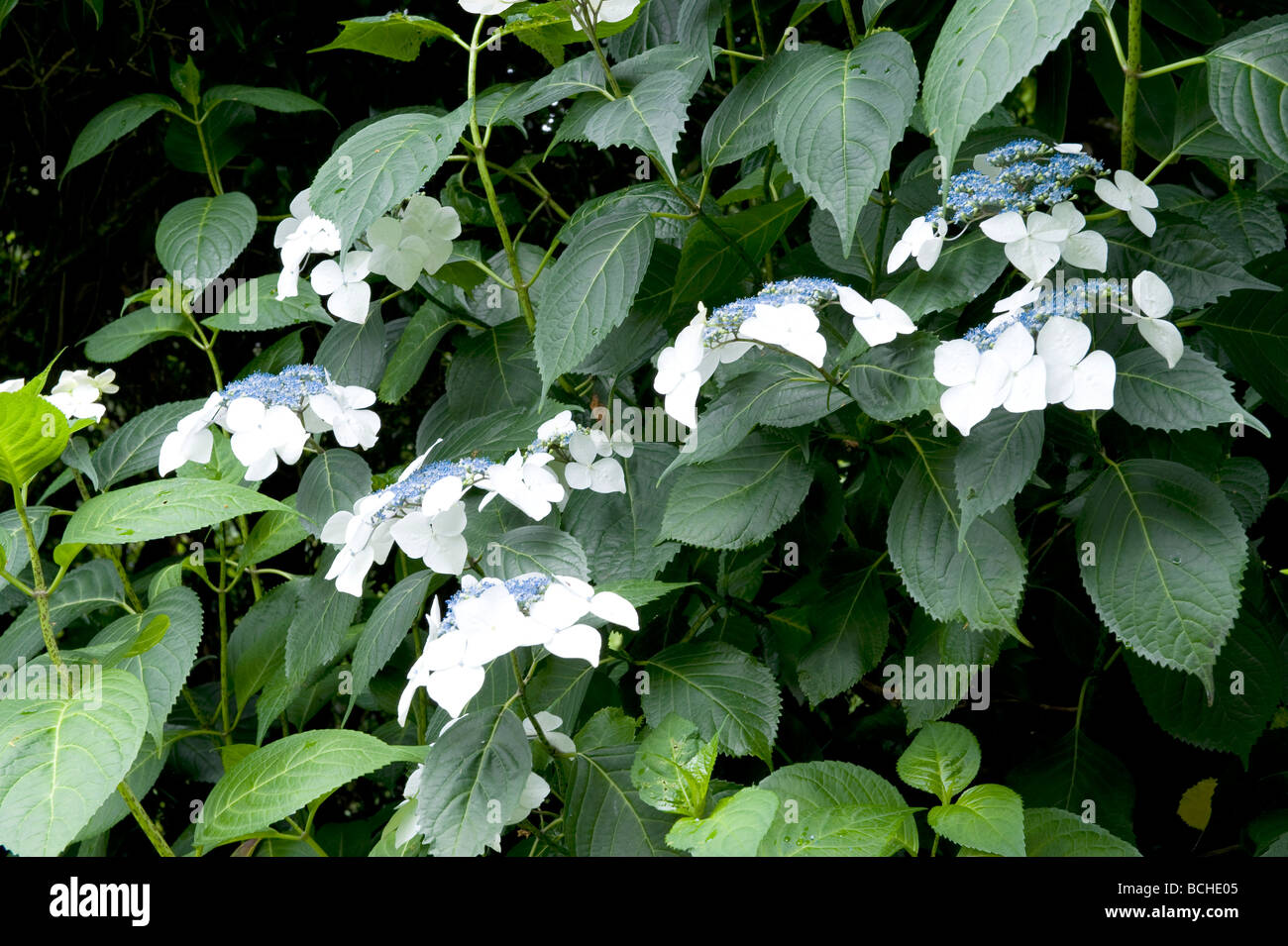 Hydrangeas macrophylla `Veitchii` blue & white flower - Stock Image