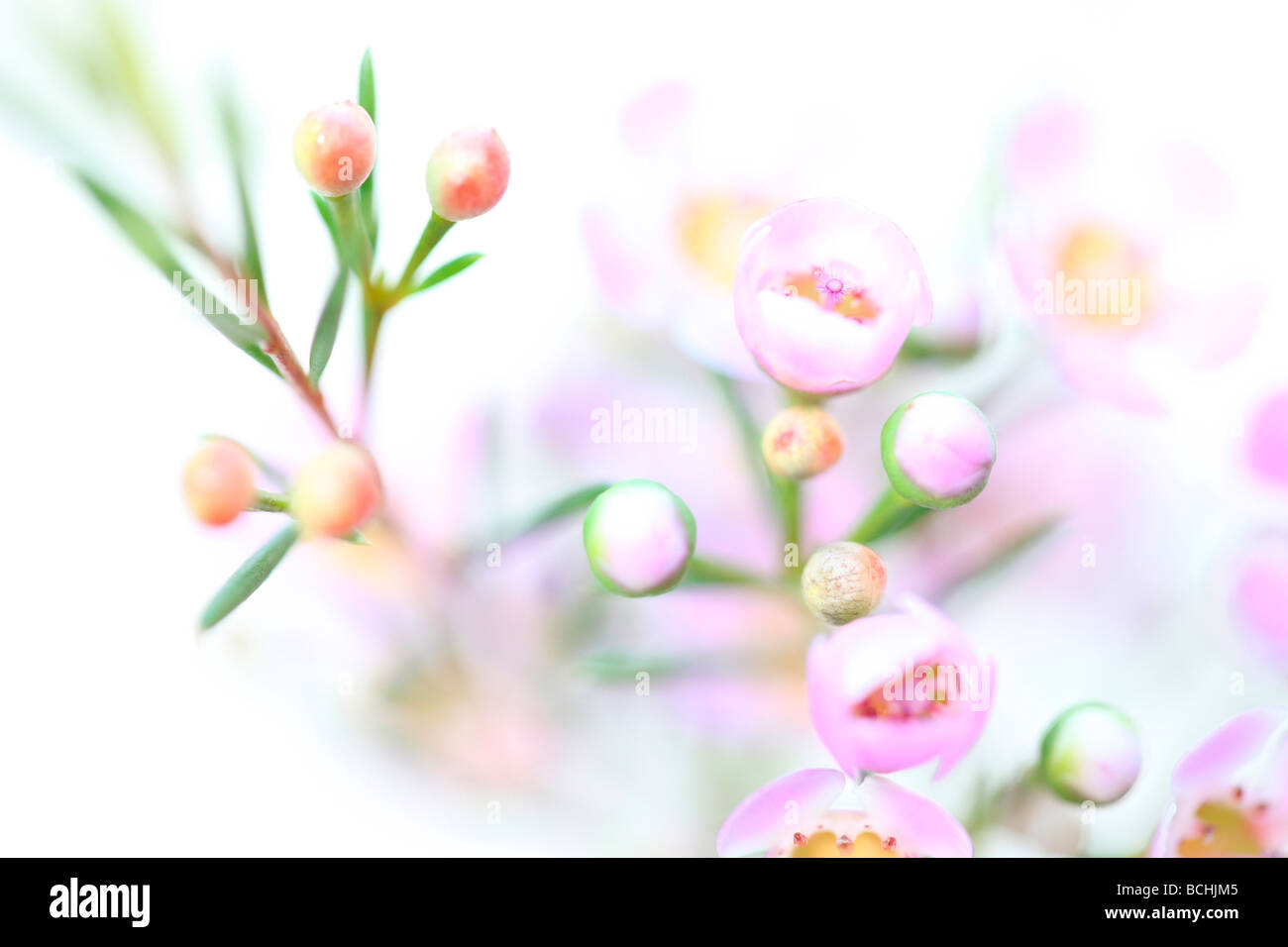 charming pink wax flower on white fine art photography Jane Ann Butler Photography JABP404 - Stock Image