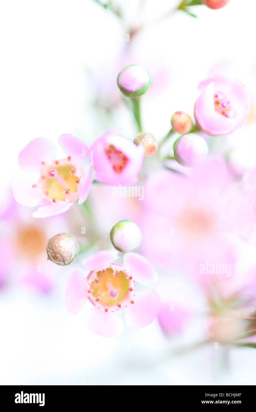 charming pink wax flower on white fine art photography Jane Ann Butler Photography JABP403 - Stock Image