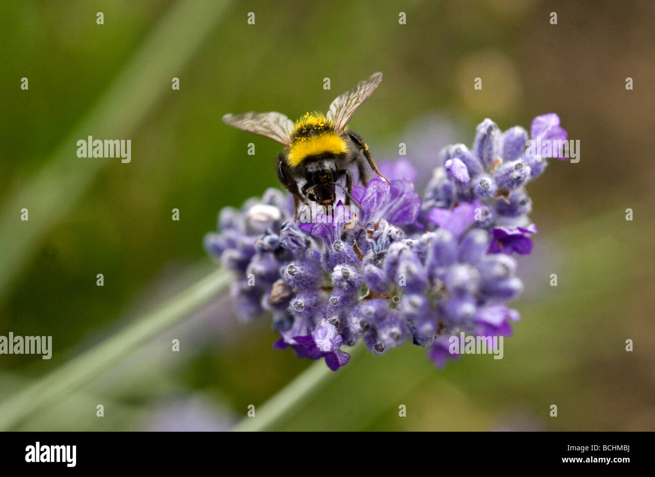 A Bumble Bee collects pollen from a Lavender flower in a garden in Sussex UK Stock Photo