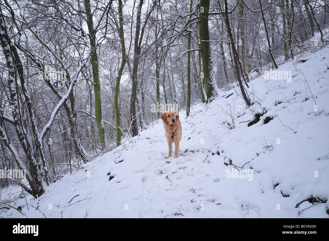 A dog in woods in winter - Stock Image