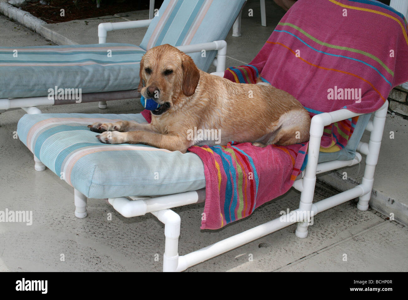 Yellow Labrador Retriever Laying On Lounge Chair Next To Pool With Ball In  Her Mouth.
