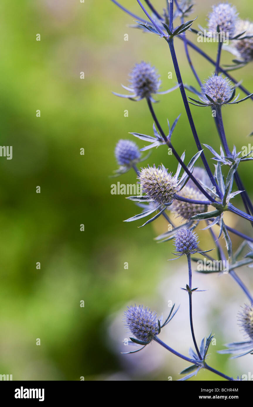 Eryngium planum 'Jade frost'. Sea holly flower Stock Photo
