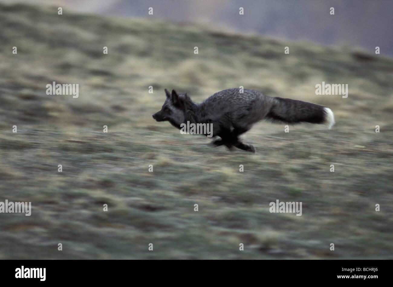 Tundra Arctic Fox In Summer Arctic Fox Runn...