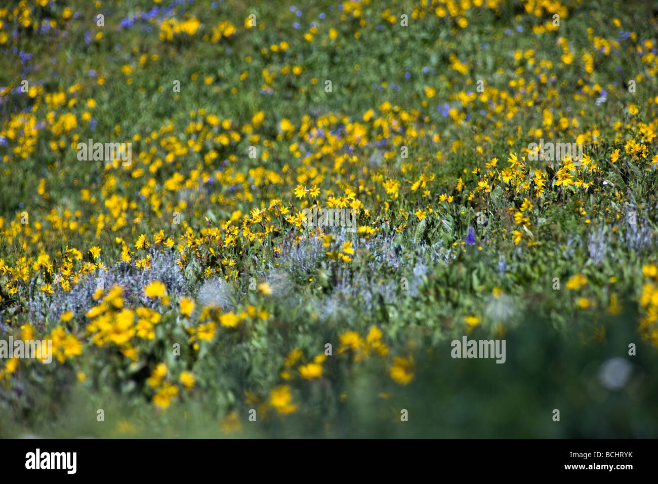 Mules Ear Aspen Sunflowers and Blue Flax below Snodgrass Mountain near Mount Crested Butte Colorado USA - Stock Image