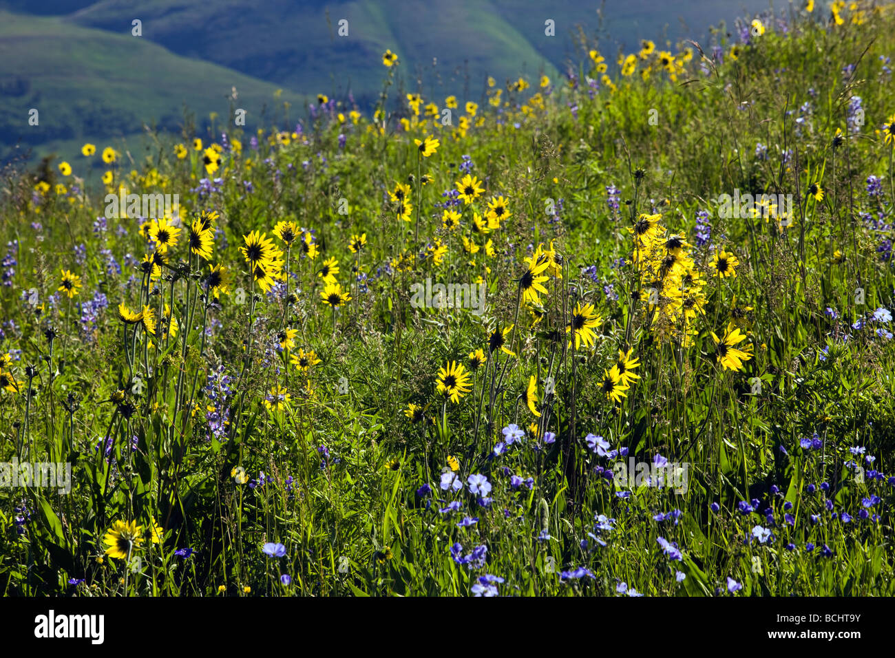 A pasture full of wildflowers including Blue Flax, Lupine and Aspen Sunflowers near Mount Crested Butte Colorado - Stock Image